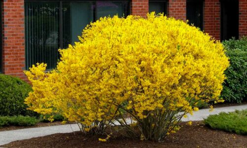 Чагарник форзиція – опис, сорти, як правильно садити і доглядати за рослиною